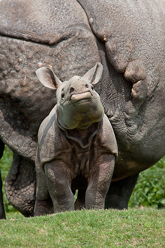 AFW 05 GL0025 01 © Kimball Stock Portrait Of Young Indian Rhinoceros Standing By Mother
