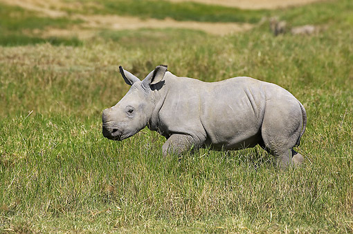 AFW 05 GL0029 01 © Kimball Stock White Rhinoceros Young Walking In Grass At Nakuru Park In Kenya
