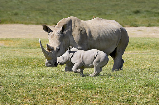 AFW 05 GL0030 01 © Kimball Stock White Rhinoceros Young Walking In Grass At Nakuru Park In Kenya