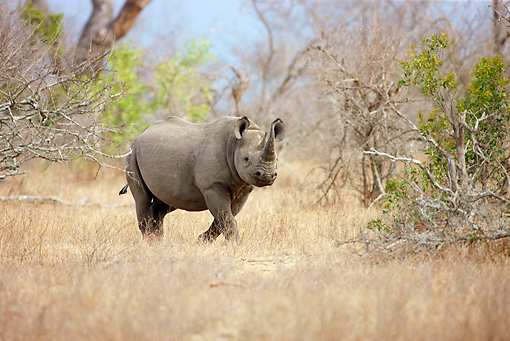 AFW 05 HP0007 01 © Kimball Stock Black Rhinoceros Walking Through Savanna Kruger National Park, South Africa