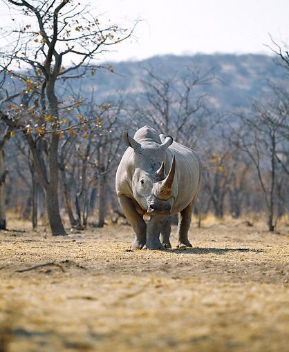 AFW 05 JZ0002 01 © Kimball Stock Portrait Of White Rhinoceros Standing In Savanna
