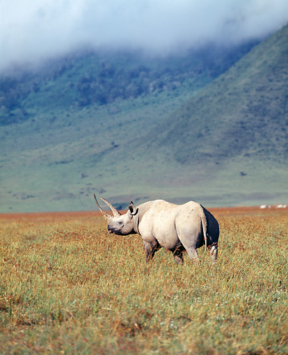 AFW 05 JZ0003 01 © Kimball Stock Portrait Of White Rhinoceros Standing In Savanna