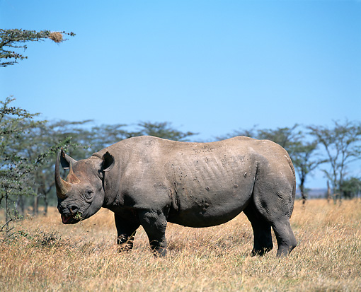 AFW 05 JZ0004 01 © Kimball Stock Portrait Of White Rhinoceros Standing In Savanna Eating Grass