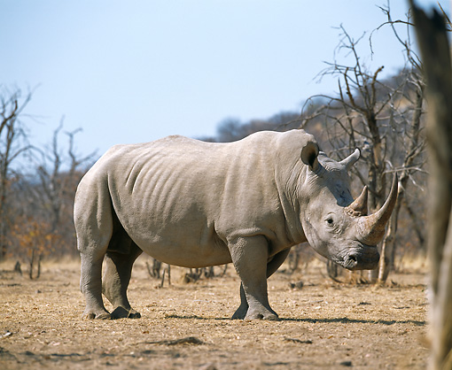 AFW 05 JZ0008 01 © Kimball Stock White Rhinoceros Standing In Savanna