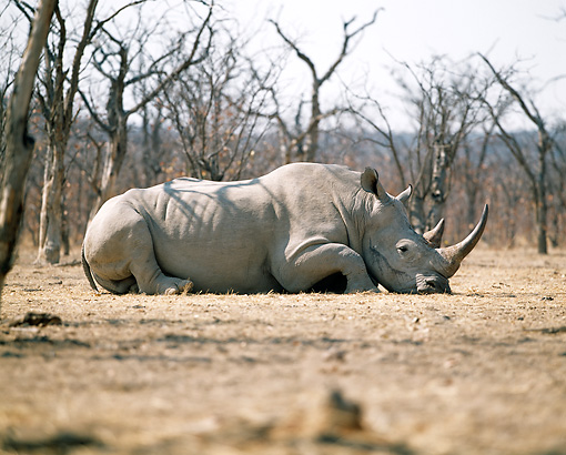 AFW 05 JZ0009 01 © Kimball Stock White Rhinoceros Laying In Savanna