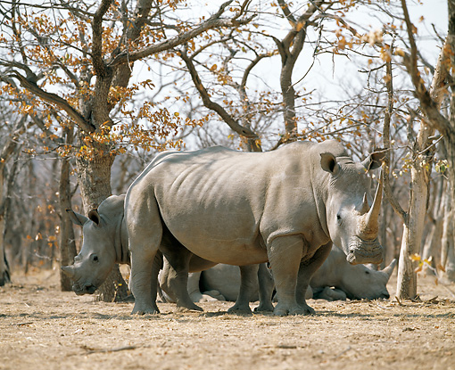 AFW 05 JZ0010 01 © Kimball Stock Herd Of White Rhinoceros Standing In Savanna