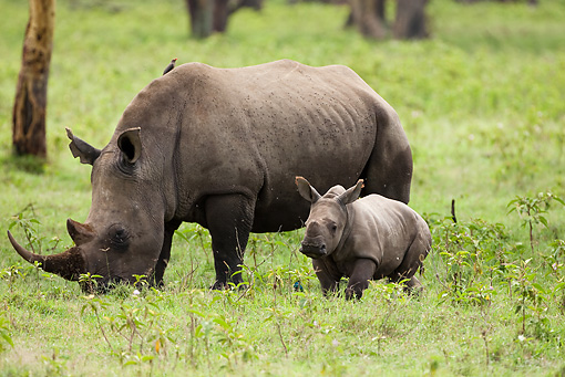 AFW 05 MC0001 01 © Kimball Stock White Rhinoceros Mother Grazing In Grassland With Young