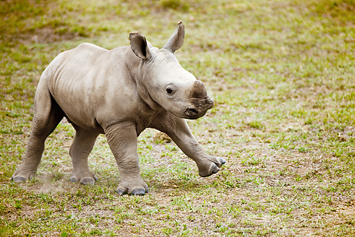 AFW 05 MC0004 01 © Kimball Stock White Rhinoceros Baby Walking On Grassland Kenya