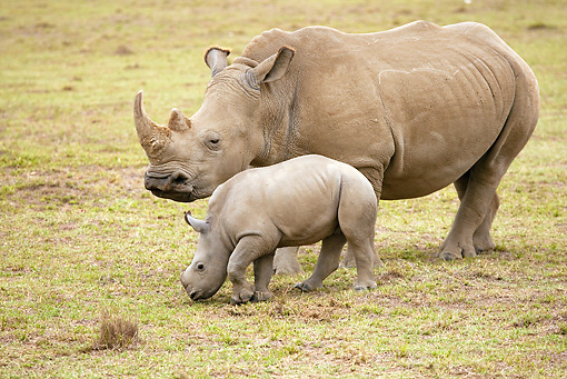 AFW 05 MC0005 01 © Kimball Stock White Rhinoceros Mother And Baby Grazing On Grassland Kenya