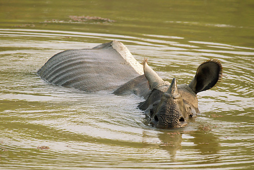 AFW 05 MC0007 01 © Kimball Stock Indian Rhinoceros Swimming In Chitwan National Park, Nepal