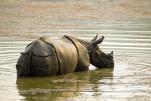 AFW 05 MC0009 01 © Kimball Stock Indian Rhinoceros Wading In Water Chitwan National Park, Nepal
