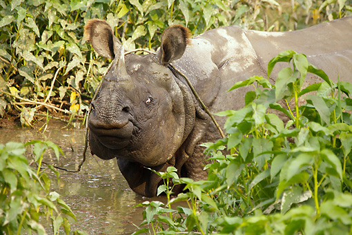 AFW 05 MC0011 01 © Kimball Stock Close-Up Of Indian Rhinoceros Wading In Chitwan National Park, Nepal