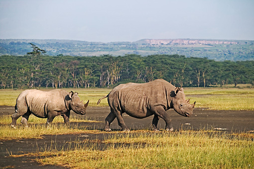 AFW 05 MH0004 01 © Kimball Stock Two Black Rhinoceroses   Walking On Savanna Kenya