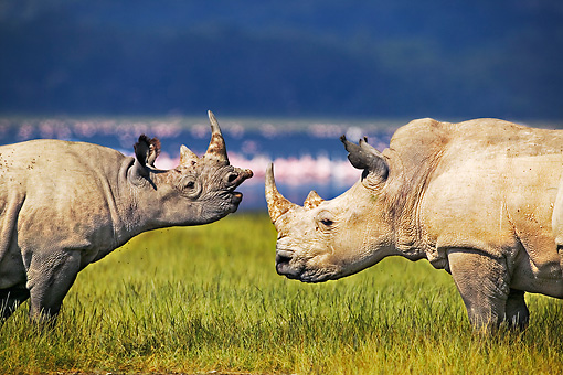 AFW 05 MH0020 01 © Kimball Stock Black Rhinoceros And White Rhinoceros Standing On Savanna Kenya