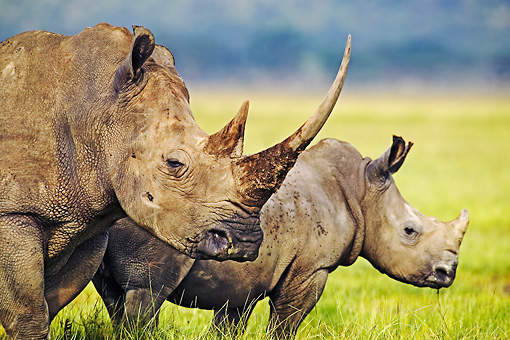 AFW 05 MH0022 01 © Kimball Stock White Rhinoceros Mother And Calf Standing On Savanna Kenya