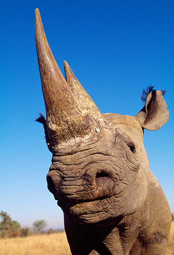 AFW 05 MH0028 01 © Kimball Stock Head Shot Of Black Rhinoceros Against Blue Sky