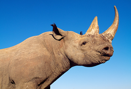 AFW 05 MH0029 01 © Kimball Stock Close-Up Of Black Rhinoceros Against Blue Sky