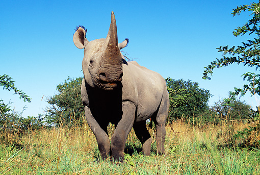 AFW 05 MH0030 01 © Kimball Stock Black Rhinoceros Standing In Grassland Against Blue Sky Zimbabwe