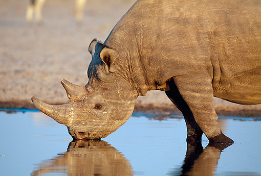 AFW 05 MH0035 01 © Kimball Stock Portrait Of Black Rhinoceros Drinking From Watering Hole Namibia