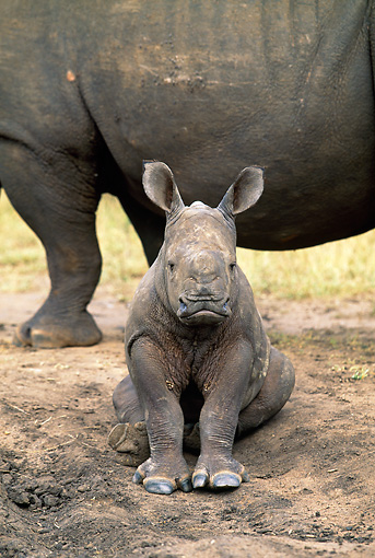 AFW 05 MH0036 01 © Kimball Stock Baby White Rhinoceros Sitting By Mother South Africa