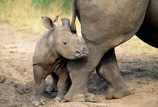AFW 05 MH0037 01 © Kimball Stock Baby White Rhinoceros Standing By Mother South Africa