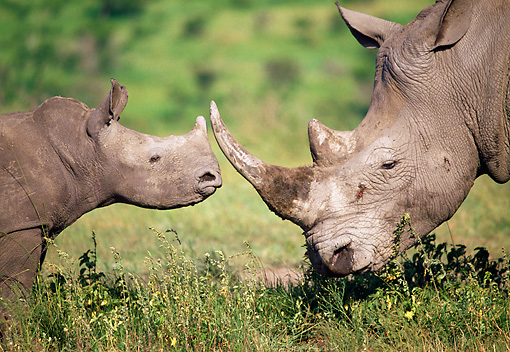 AFW 05 MH0038 01 © Kimball Stock Baby White Rhinoceros Standing Face To Face With Mother South Africa