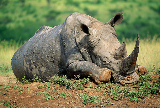 AFW 05 MH0039 01 © Kimball Stock Muddy White Rhinoceros Resting On Savanna South Africa