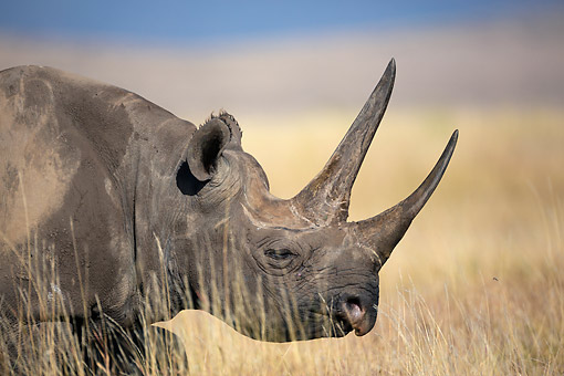 AFW 05 MH0044 01 © Kimball Stock Close-Up Of Black Rhinoceros Standing In Tall Grass Kenya