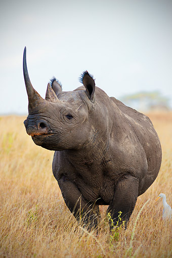 AFW 05 MH0045 01 © Kimball Stock Portrait Of Black Rhinoceros Standing In Tall Grass Kenya