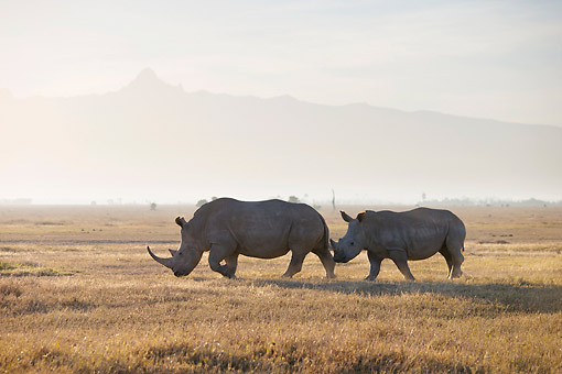 AFW 05 MH0049 01 © Kimball Stock Two White Rhinoceros Walking Through Grass At Sunrise With Mount Kenya In Background, Kenya