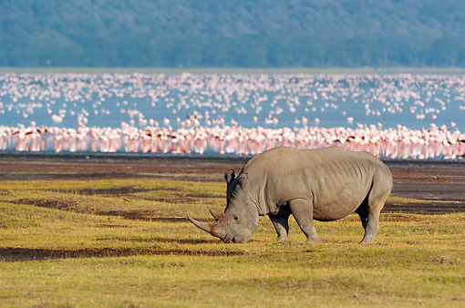 AFW 05 NE0028 01 © Kimball Stock White Rhinoceros Grazing With Flamingos In Distance Lake Nakuru National Park, Kenya