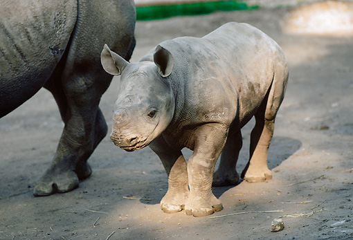 AFW 05 RK0001 07 © Kimball Stock Baby Rhino Standing Besides Mother