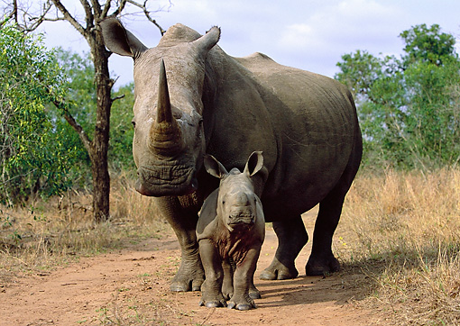 AFW 05 WF0002 01 © Kimball Stock White Rhinoceros Mother And Young Standing On Path