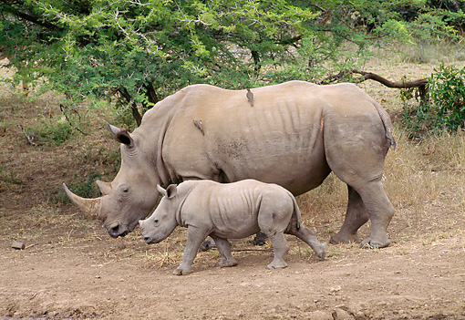 AFW 05 WF0003 01 © Kimball Stock White Rhinoceros Mother And Young Walking On Path