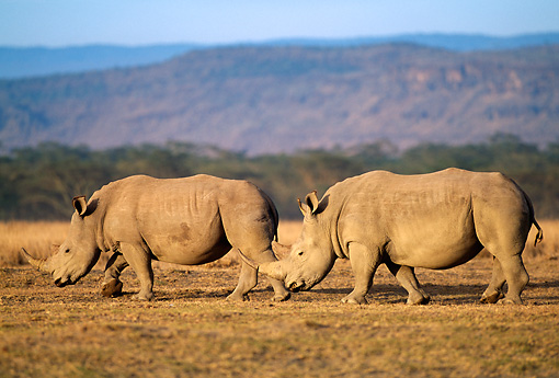 AFW 05 DB0006 01 © Kimball Stock Profile Of Two White Rhinos Walking In Field