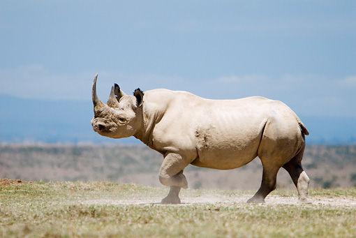 AFW 05 DB0007 01 © Kimball Stock Black Rhinoceros Running On Savanna