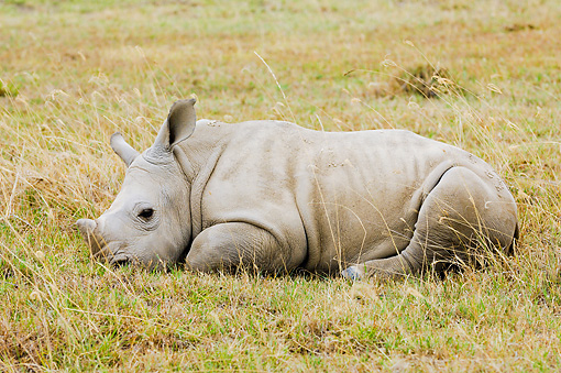 AFW 05 NE0002 01 © Kimball Stock White Rhinoceros Calf Resting On Savanna Kenya