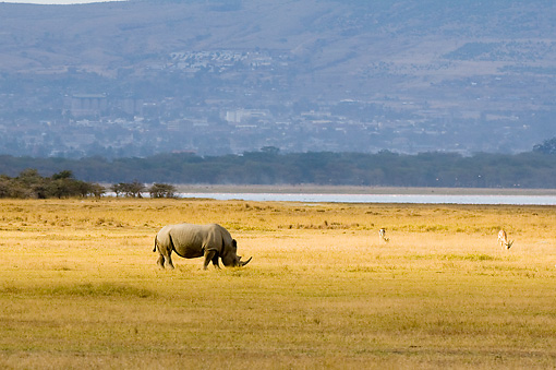 AFW 05 NE0004 01 © Kimball Stock White Rhinoceros Grazing On Savanna Near Lake Kenya