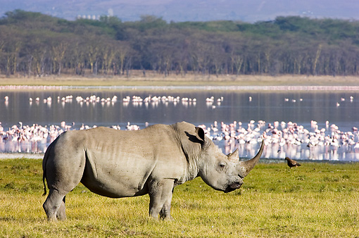 AFW 05 NE0005 01 © Kimball Stock White Rhinoceros Standing On Savanna Near Lake And Flock Of Birds Kenya