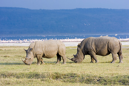 AFW 05 NE0008 01 © Kimball Stock White Rhinoceros Mother And Calf Grazing On Savanna Near Lake And Mountains Kenya