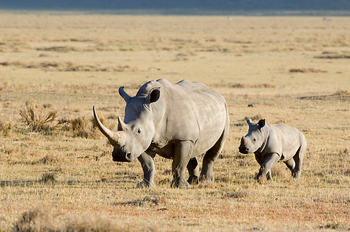 AFW 05 NE0011 01 © Kimball Stock White Rhinoceros Mother And Calf Walking On Savanna Kenya