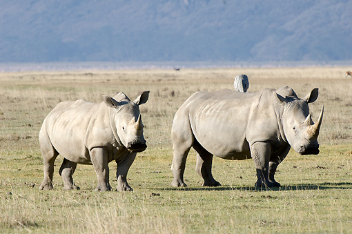 AFW 05 NE0013 01 © Kimball Stock White Rhinoceros Mother And Calf Standing On Savanna Kenya