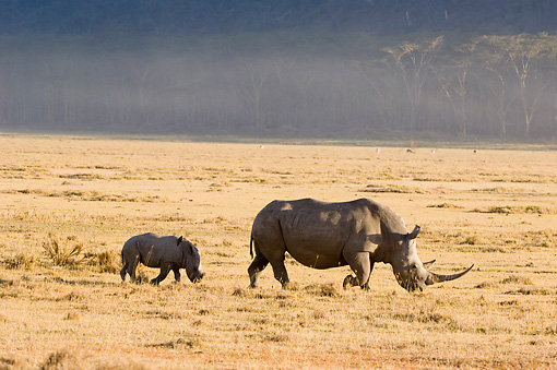 AFW 05 NE0014 01 © Kimball Stock White Rhinoceros Mother And Calf Walking On Savanna  Kenya