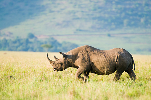 AFW 05 NE0016 01 © Kimball Stock White Rhinoceros Walking On Savanna Kenya