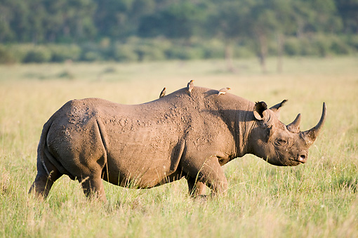 AFW 05 NE0017 01 © Kimball Stock White Rhinoceros Walking On Savanna Birds Riding On Back Kenya