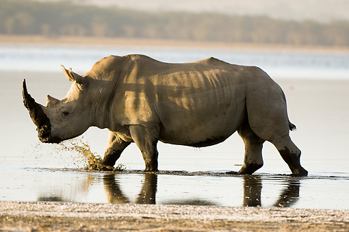 AFW 05 NE0018 01 © Kimball Stock White Rhinoceros Walking In Water Kenya