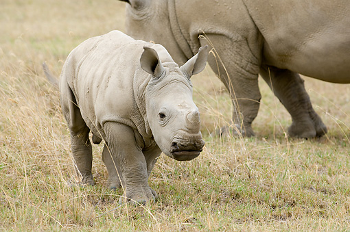 AFW 05 NE0019 01 © Kimball Stock White Rhinoceros Calf Walking On Savanna With Mother In Background Kenya