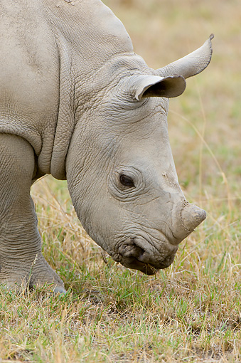 AFW 05 NE0020 01 © Kimball Stock White Rhinoceros Calf Grazing On Savanna Kenya Close Up