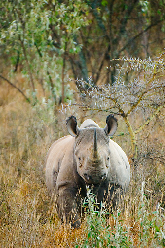 AFW 05 NE0025 01 © Kimball Stock Black Rhinoceros Standing In Tall Grass By Tree On Savanna Kenya Head On