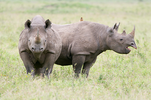 AFW 05 NE0027 01 © Kimball Stock Black Rhinoceros Mother And Calf Standing On Savanna Kenya